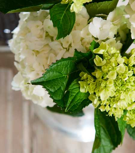 White hydrangeas in a vase
